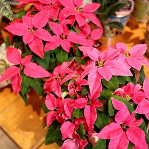 華やかなピンク色が、まるでプリンセスのようなポインセチアであるプリンセチア。もちろんクリスマスにもおすすめです♪