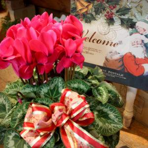 冬の鉢花の女王、シクラメン。一鉢でも豪華な印象があり、年末年始の贈答用の花としても人気があります。