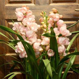 寒さに強く冬に咲くシンビジウム。胡蝶蘭の仲間で贈り物のお花におすすめです。たくさんの花をつけるので見ごたえがあります。