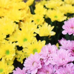 重陽の節句に...菊の花を浮かべた菊酒や菊湯はいかがですか?